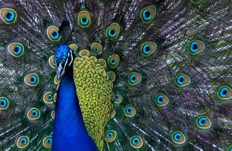 Peacock Crop. By Steve Wilde =