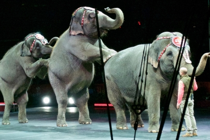 Elephant Curtain Call. By Tom Driggers (Barnum & Bailey)